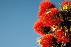 De bloei van Pohutukawa. Stock Foto