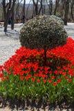 De Bloei van rode kleurentulpen in de Lente Stock Fotografie