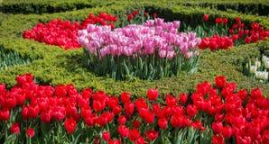 De Bloei van rode kleurentulpen in de Lente Royalty-vrije Stock Foto's