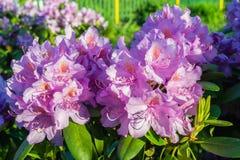 De bloei van rododendronbloemen in de tuin Stock Afbeeldingen