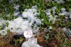 De bloei van sakuraboom Royalty-vrije Stock Afbeelding