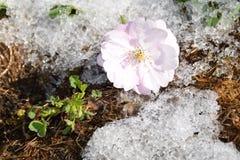 De bloei van sakuraboom Royalty-vrije Stock Afbeeldingen