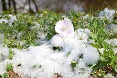 De bloei van sakuraboom Stock Foto's