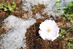 De bloei van sakuraboom Royalty-vrije Stock Foto's