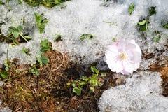 De bloei van sakuraboom Stock Afbeelding