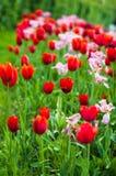 De bloei van tulpen in Park Royalty-vrije Stock Fotografie