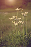 De bloei van uibloemen in tuin bij zonsondergang Royalty-vrije Stock Afbeelding