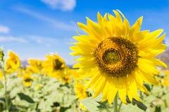De bloei van zonnebloemgebieden in het midden van de vallei en de blauwe hemel royalty-vrije stock fotografie