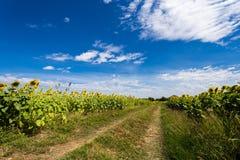 De bloei van zonnebloemgebieden in het midden van de vallei en de blauwe hemel Royalty-vrije Stock Foto's