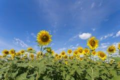 De bloei van zonnebloemgebieden in het midden van de vallei en de blauwe hemel Royalty-vrije Stock Afbeeldingen