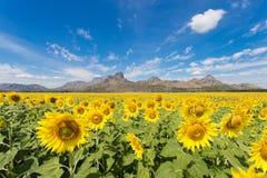 De bloei van zonnebloemgebieden in het midden van de vallei en de blauwe hemel Stock Foto's