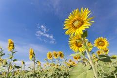 De bloei van zonnebloemgebieden in het midden van de vallei en de blauwe hemel royalty-vrije stock afbeelding