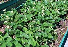 De bloeiende aardbeiinstallatie op gardenbed Royalty-vrije Stock Afbeelding