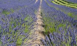 De bloeiende bemerkte gebieden van de lavendelbloem in eindeloze rijen Stock Foto's