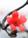 De bloeiende bloem van de Kapok in de lente Royalty-vrije Stock Fotografie