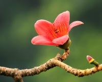 De bloeiende bloem van de Kapok in de lente Royalty-vrije Stock Afbeelding
