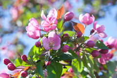 De bloeiende bloemen van de appelboom royalty-vrije stock afbeelding