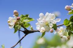 De bloeiende bloemen van de appelboom bij hemelachtergrond Royalty-vrije Stock Afbeelding