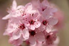 De bloeiende Bloemen van de Lente Royalty-vrije Stock Afbeelding