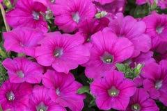 De bloeiende bloemlente Royalty-vrije Stock Fotografie
