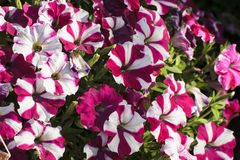 De bloeiende bloemlente royalty-vrije stock foto