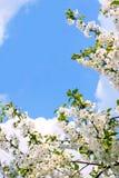 De bloeiende Bloesems van de Kers Stock Fotografie