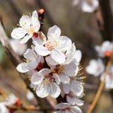 De bloeiende bomen van de lente Bestuiving van bloemen van abrikoos bloei royalty-vrije stock afbeelding