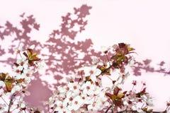 De bloeiende boom met wit, roze bloemen in ochtendzonneschijn en schaduw, vertroebelde zonlicht Zachte nadruk De bloesembloem van stock foto