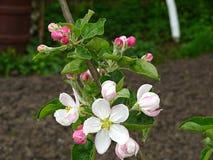De bloeiende Boom van de Appel stock foto's