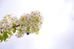 De bloeiende Boom van de Appel stock afbeelding