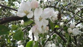 De bloeiende Boom van de Appel stock foto