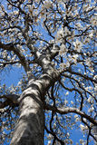 De bloeiende boom van de Tulp Royalty-vrije Stock Fotografie