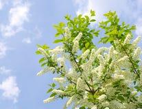 De bloeiende boom van de vogelkers Royalty-vrije Stock Afbeelding