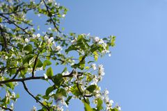 De bloeiende Boom van de Peer Takken met mooie bloemen tegen duidelijke blauwe hemel stock fotografie