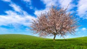 De bloeiende boom van de sakurakers met dalende bloemblaadjes stock foto's