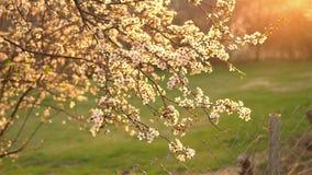 De bloeiende boomstam van de pruimboom met bloemen in de lentetijd Zon die met warm licht bij zonsondergang, ondiepe velddiepte g stock video