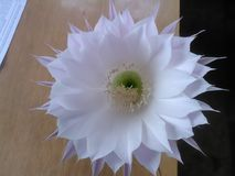 De bloeiende cactus royalty-vrije stock foto's