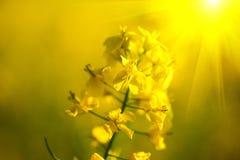 De bloeiende close-up van canolabloemen Royalty-vrije Stock Foto's