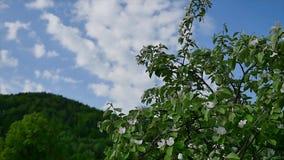 De bloeiende bloeiende die bloesem bloeit bloemblaadjes door wind van de takken van de appelboom tegen blauwe hemelachtergrond wo stock footage