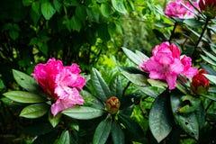De bloeiende en ontluikende heldere schaduwen van de roze struiken van Rododendronbloemen onder groene bladeren op regenachtige d royalty-vrije stock fotografie
