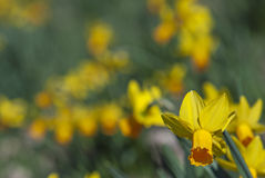 De bloeiende gele narcissen van de lente Royalty-vrije Stock Fotografie