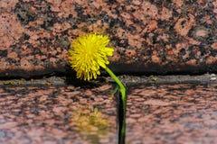 De bloeiende gele paardebloem groeit in een barst onder de granietstenen Sluit omhoog stock foto's