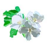 De bloeiende groene bladeren van de appeltak whith Royalty-vrije Stock Afbeeldingen