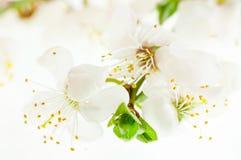 De bloeiende kers vertakt zich close-up Royalty-vrije Stock Afbeelding