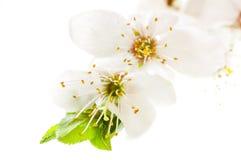 De bloeiende kers vertakt zich close-up Stock Fotografie