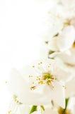 De bloeiende kers vertakt zich close-up Royalty-vrije Stock Foto's