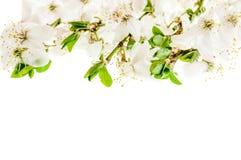 De bloeiende kers vertakt zich close-up Stock Afbeelding