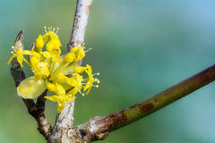 De bloeiende kornoelje, (Cornus mas), sluit omhoog stock afbeelding