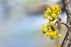 De bloeiende kornoelje, cornus mas, sluit omhoog met exemplaarruimte in B stock afbeeldingen