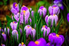 De bloeiende krokus bloeit macro Stock Afbeeldingen